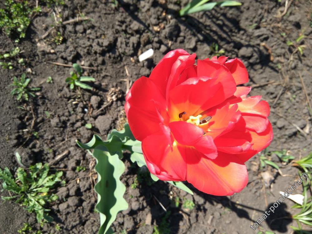 Пересорт тюльпана Дрим тач или Хоризон