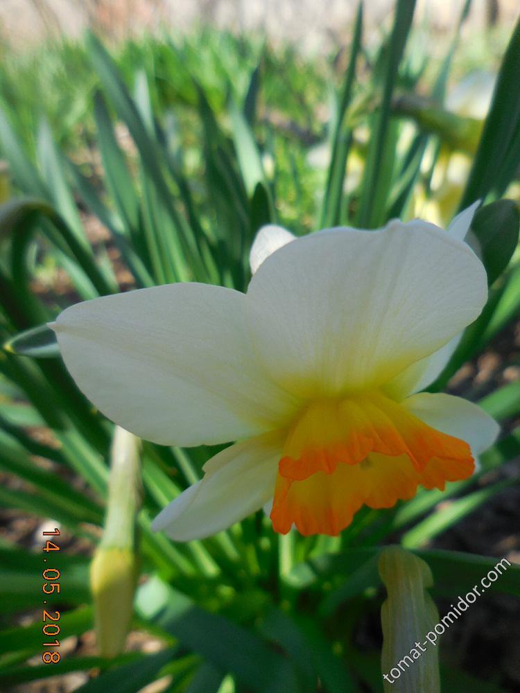 Нарцисс-одиночка