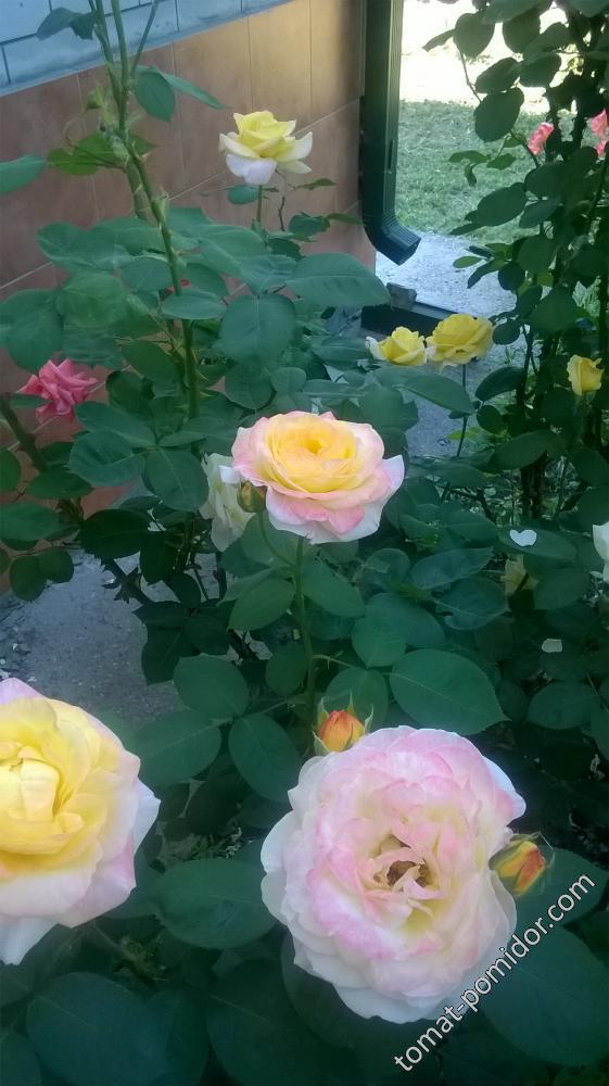 розы. 3.06.18