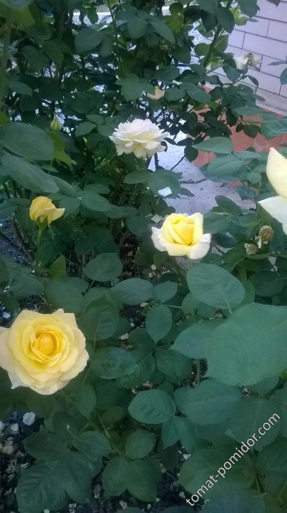 еще розы