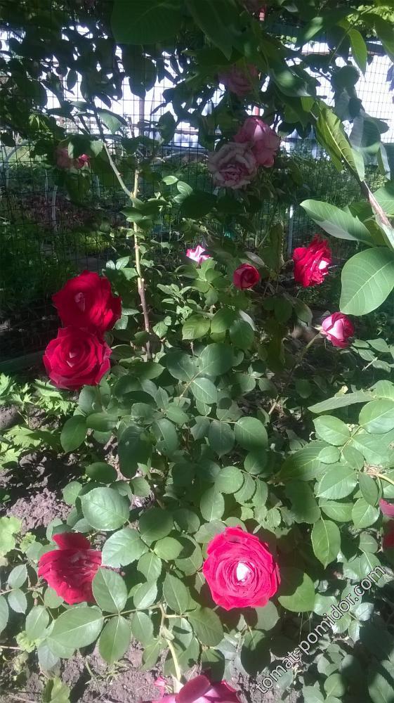 тоже розы