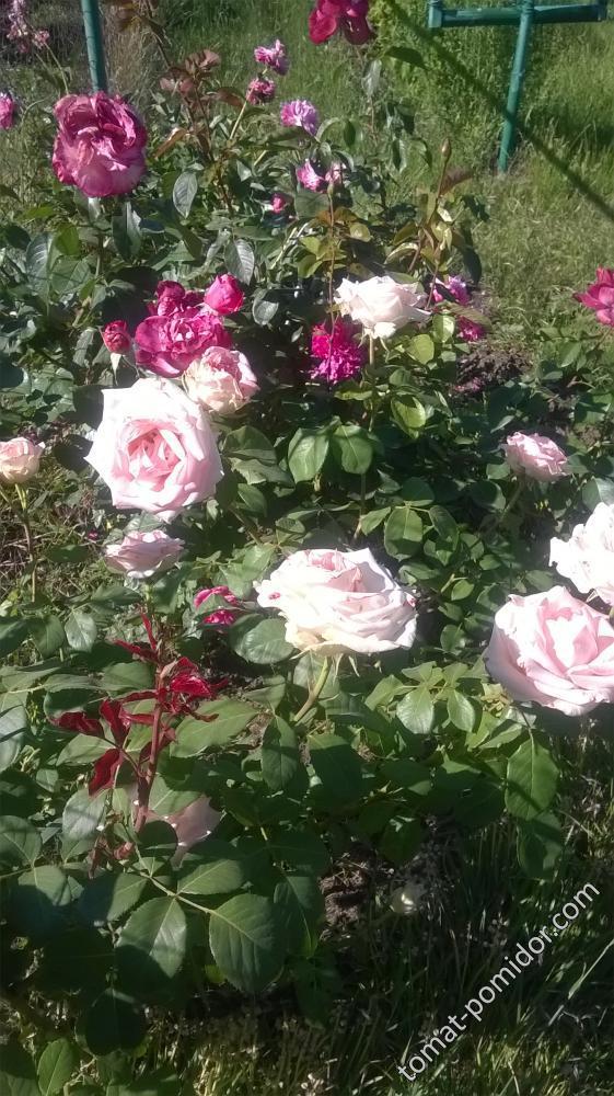 и опять розы