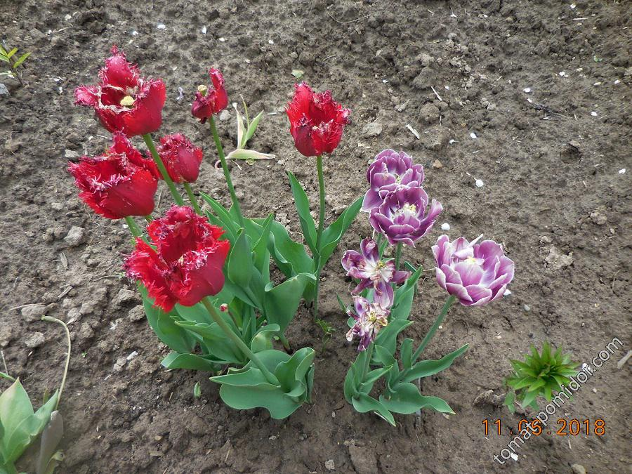 Последние тюльпаны