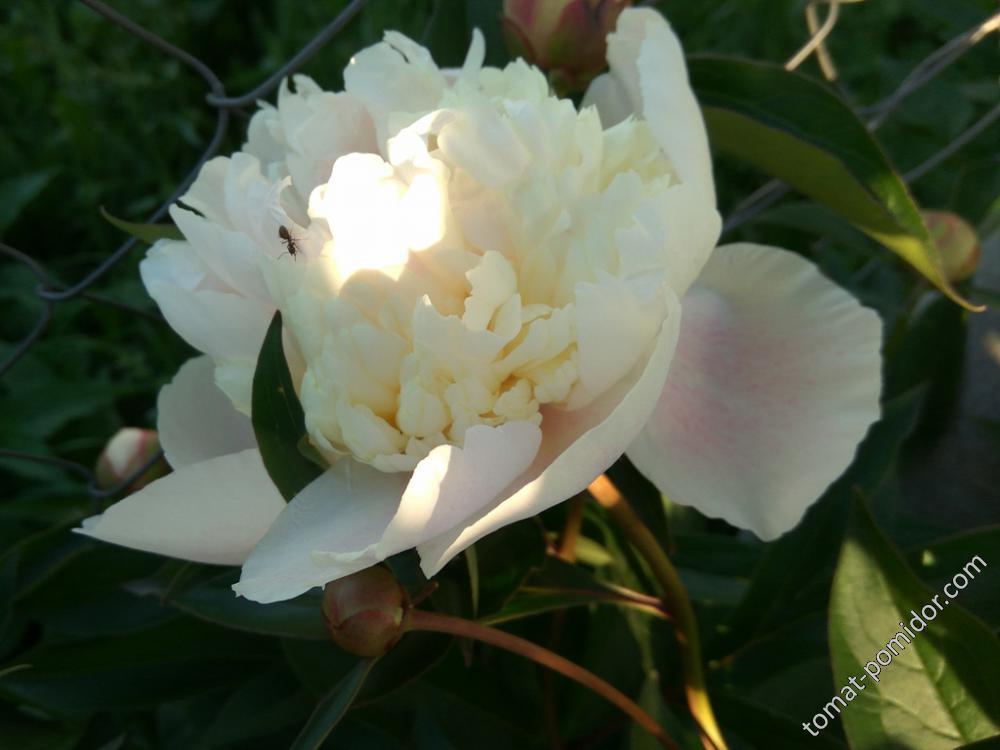 Бледно-розово желтовато-белый ))) пион
