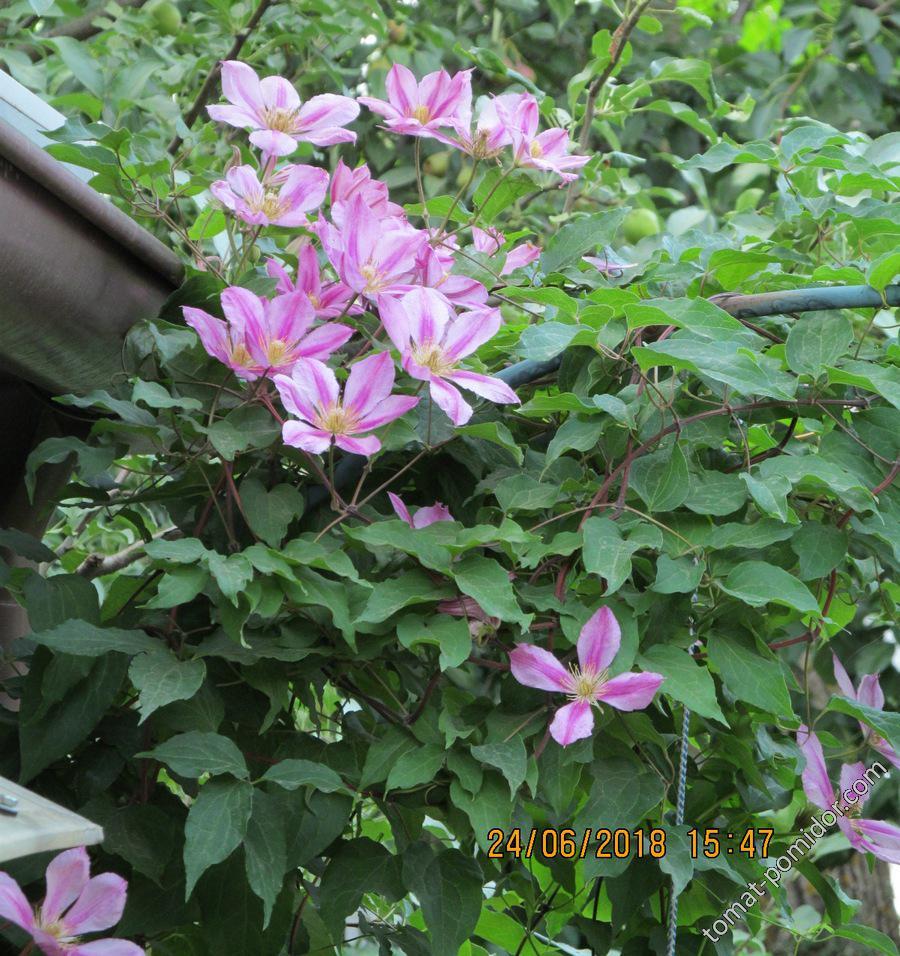 Клематис - вторая волна цветения