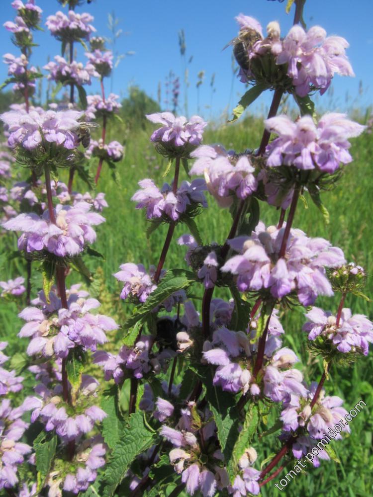 Цветы неизвестного цветка Зопник клубненосный