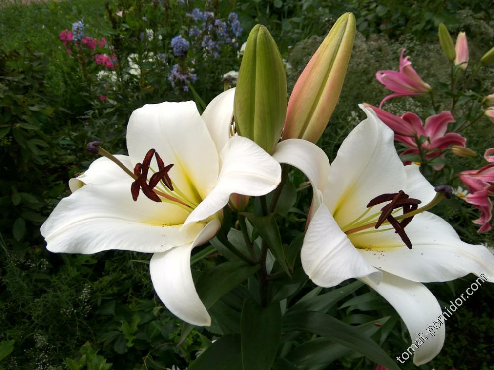 Шикарная самая высокая и крупная лилия