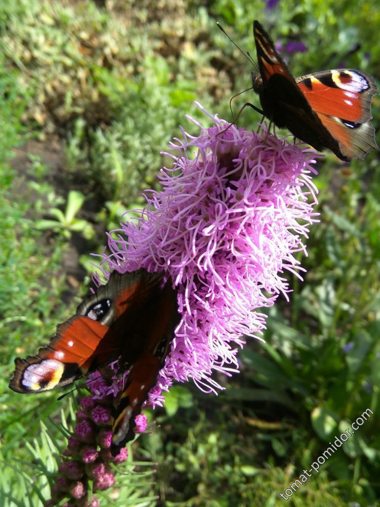 Лиатрис и бабочки