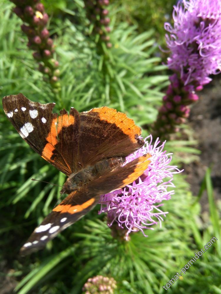 Лиатрис и бабочка