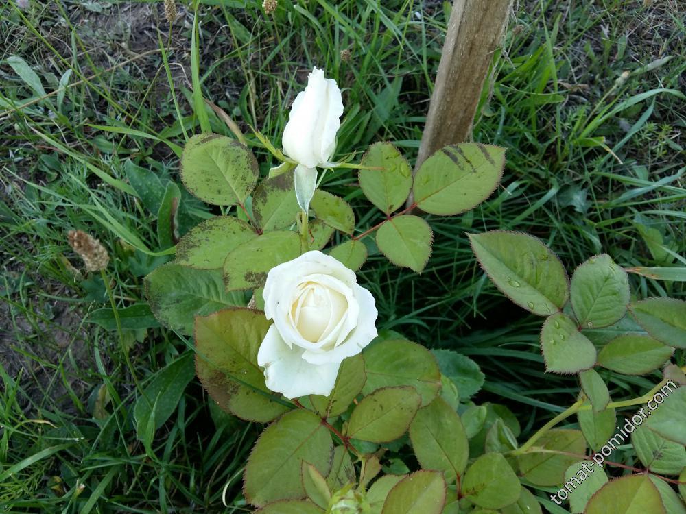 Белая розочка