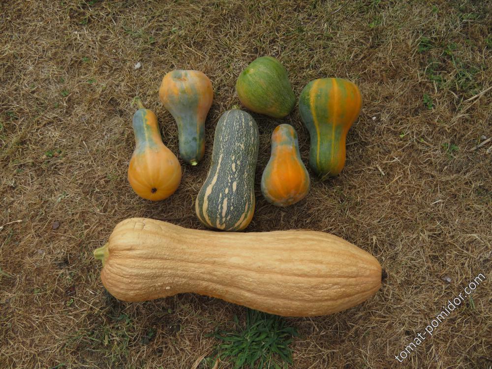 Мускатки 8 августа 2018. Внизу Полянин (4.5 кг), малютки Оранж(500-950 гр) и Барбара (1.300)