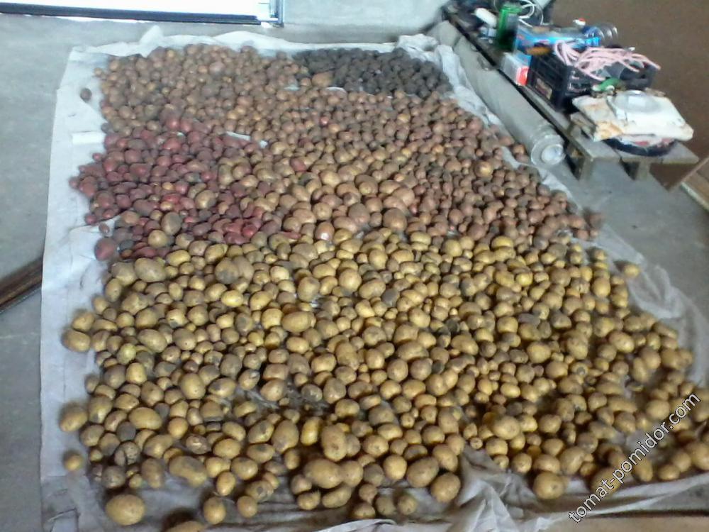 Первый урожай картошки - пять сортов