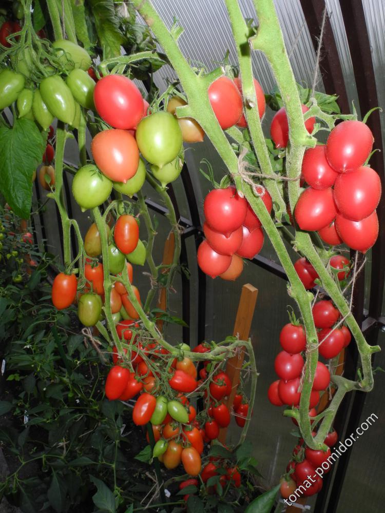 где славянка томат отзывы и фото душевую