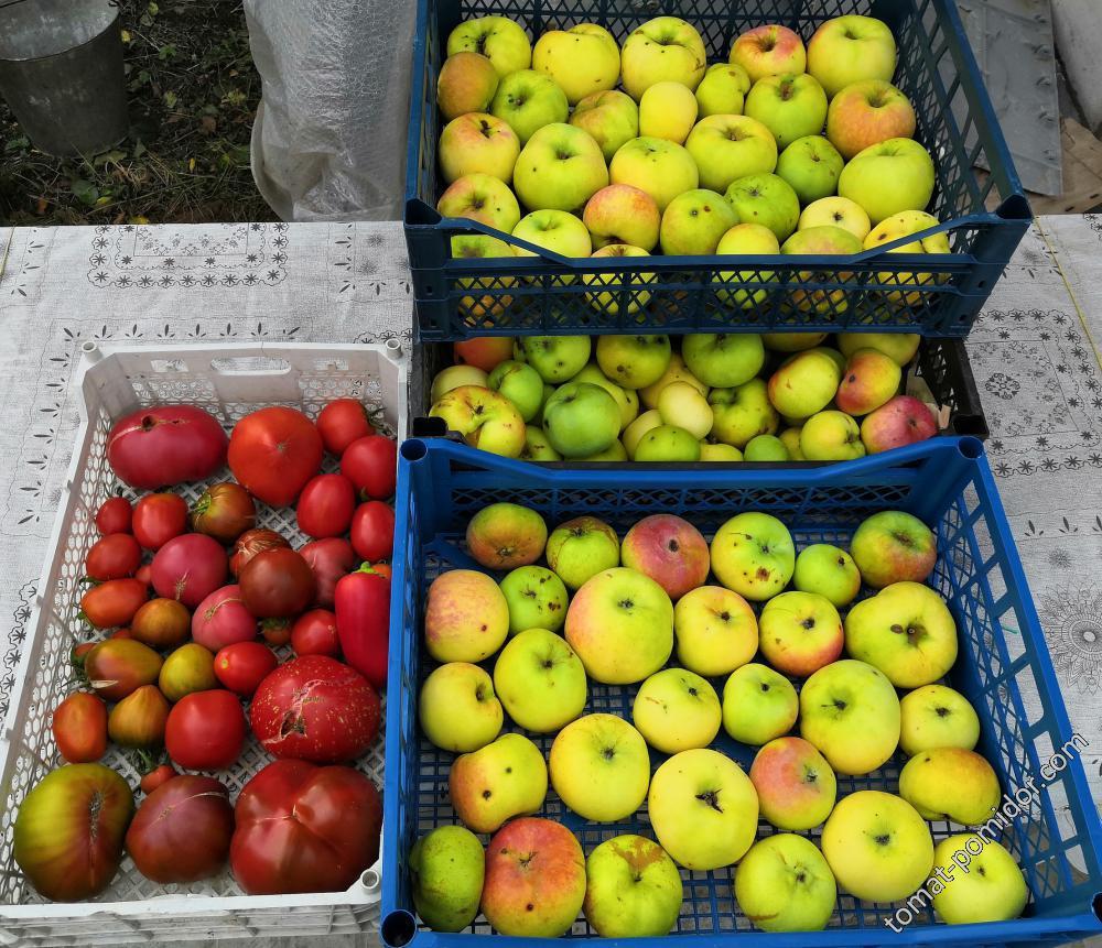 Яблоки Богатырь. Начало октября.