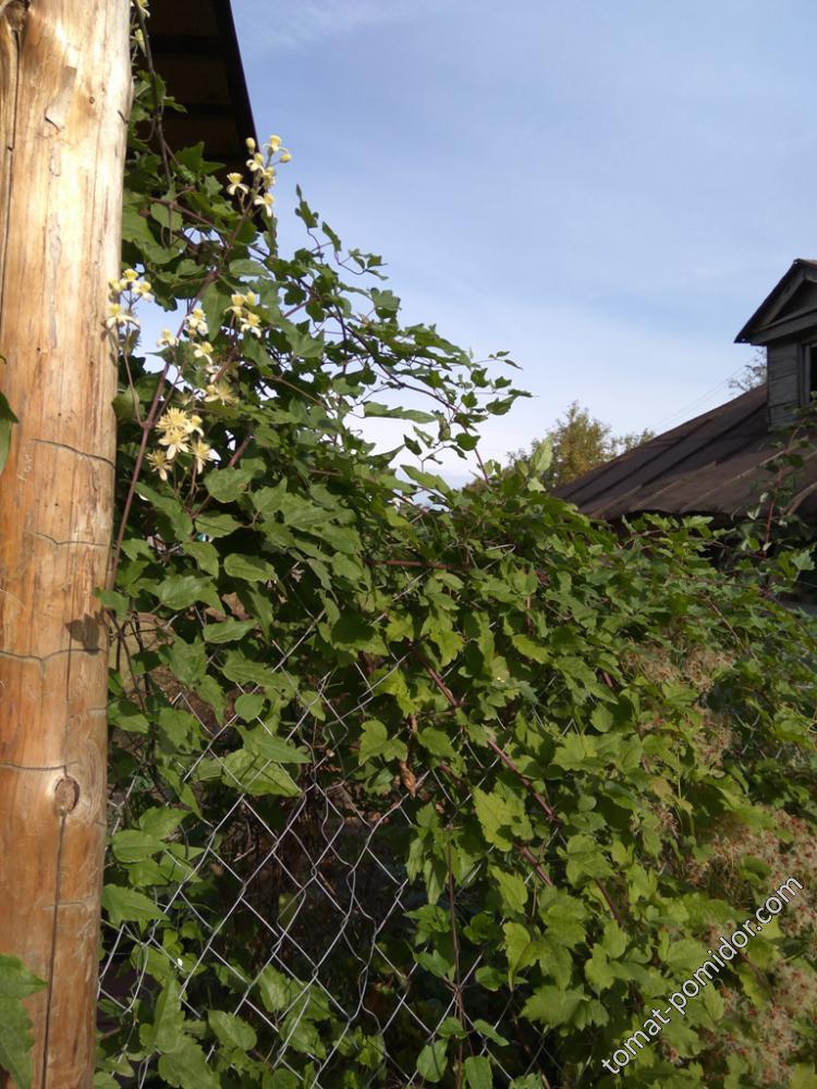 Зацвел виноградолистный клематис