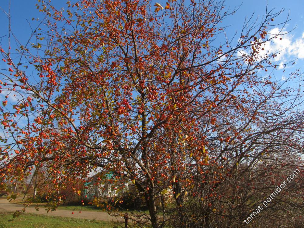 Райская яблонька