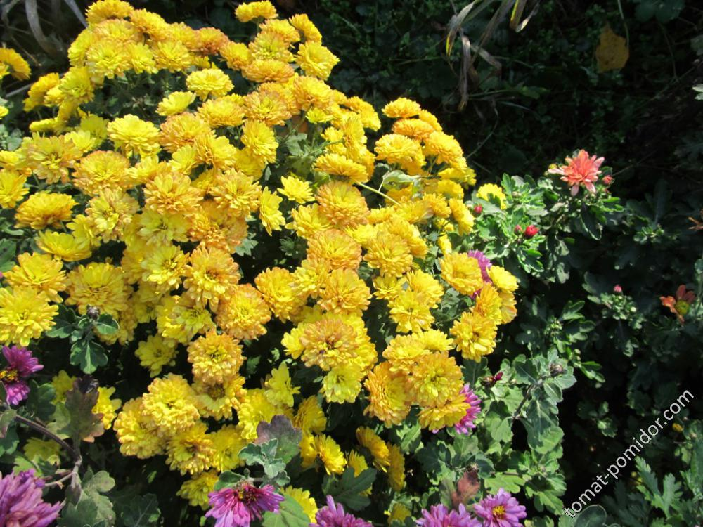 Хризантемы мультифлоры