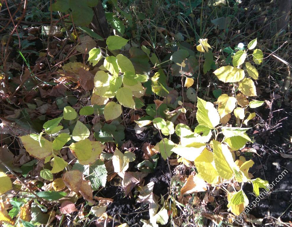 Шелковицы из семян