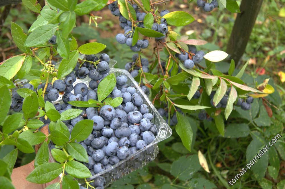 Голубика и ягодники