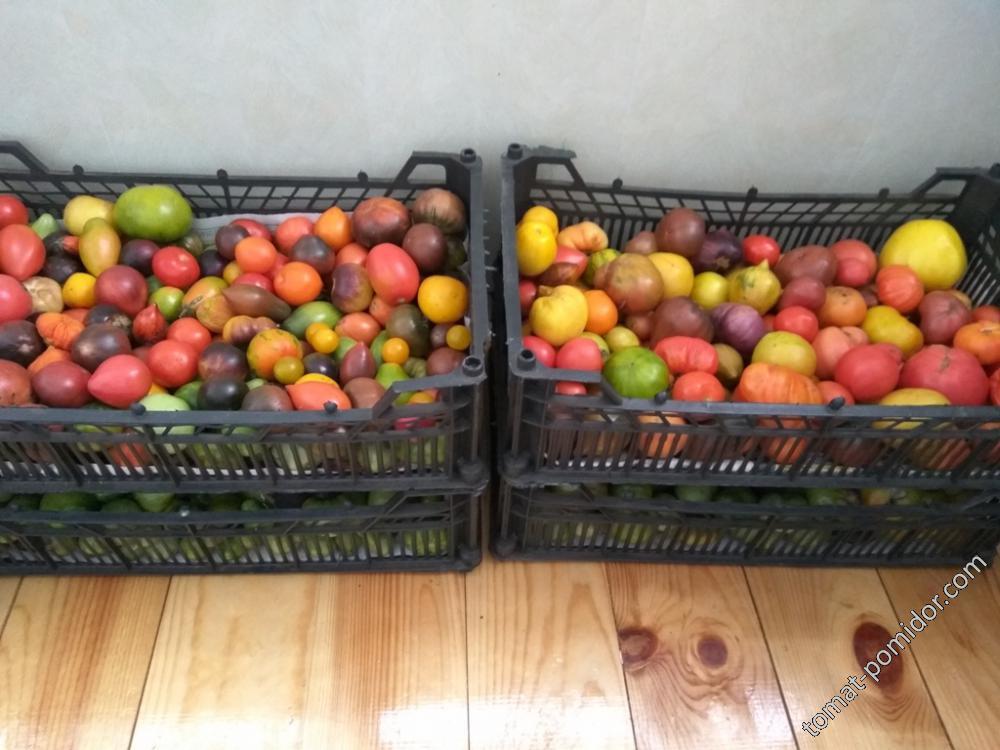 Остатки помидоров )))
