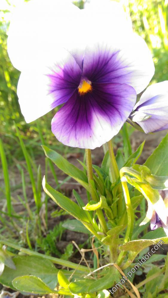 виола белая с фиолетовым глазком