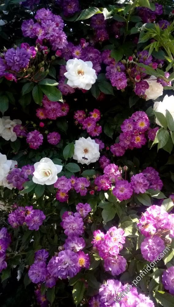 Любимые розы