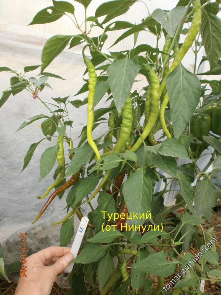 Турецкий (семена Нинули)