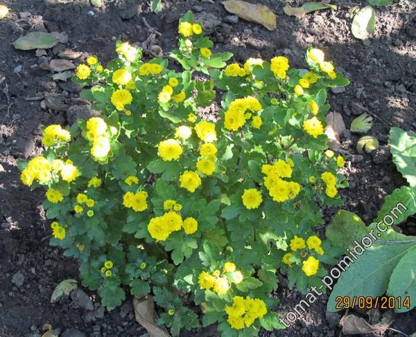 Дубки/хризантемы карликовые желтые