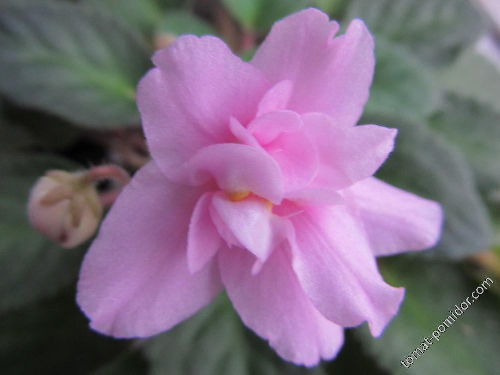 розовая перламутровая