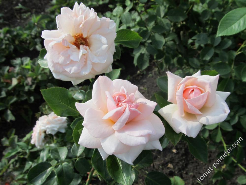 Роза не Парад