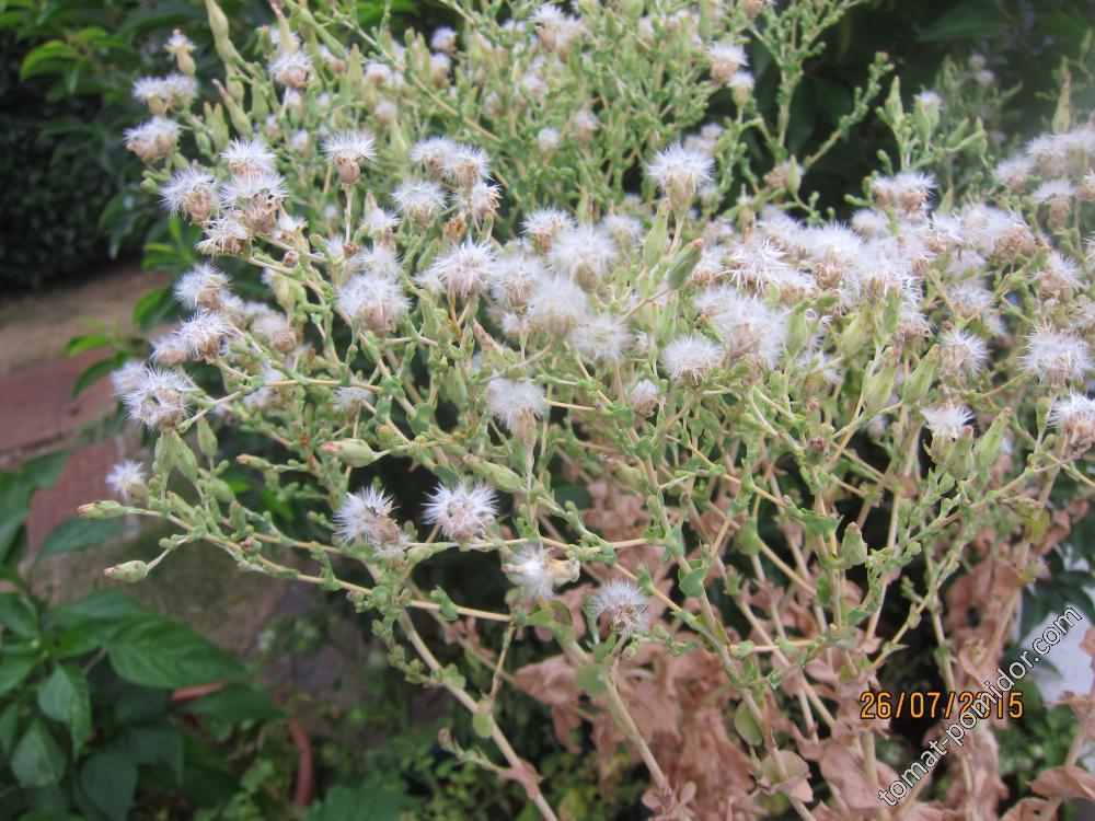 Семена салатика