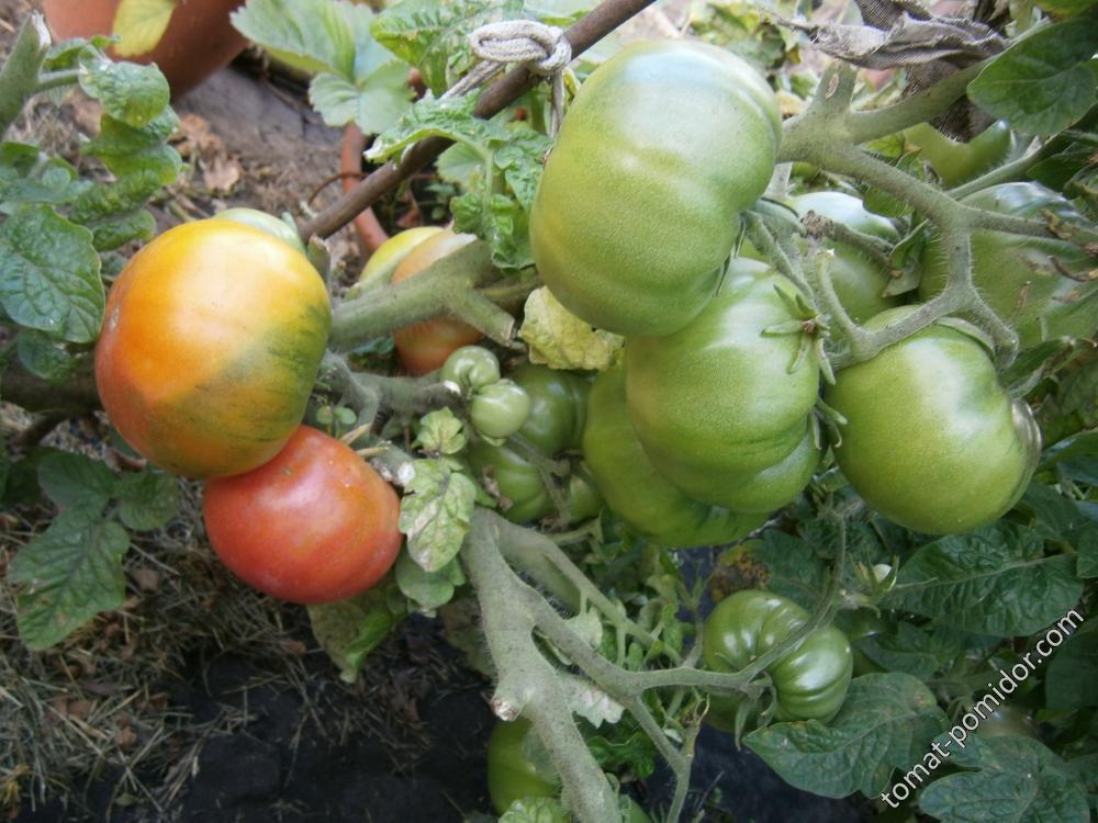Гном томатный Арктик роуз ОГ