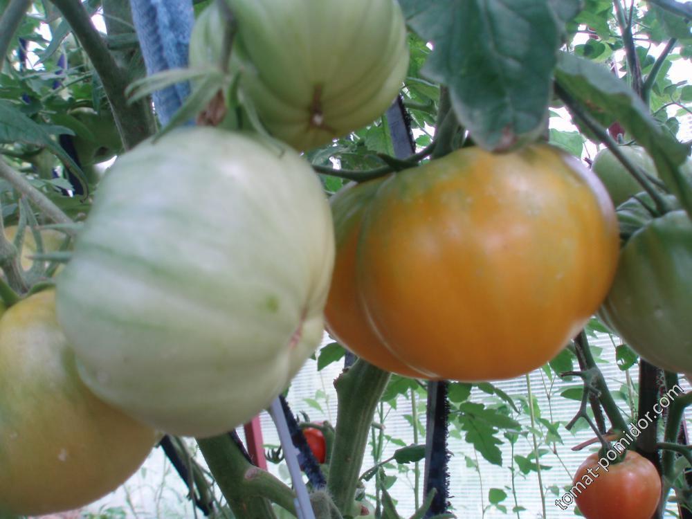Медовый гигант (семена Михайлова)