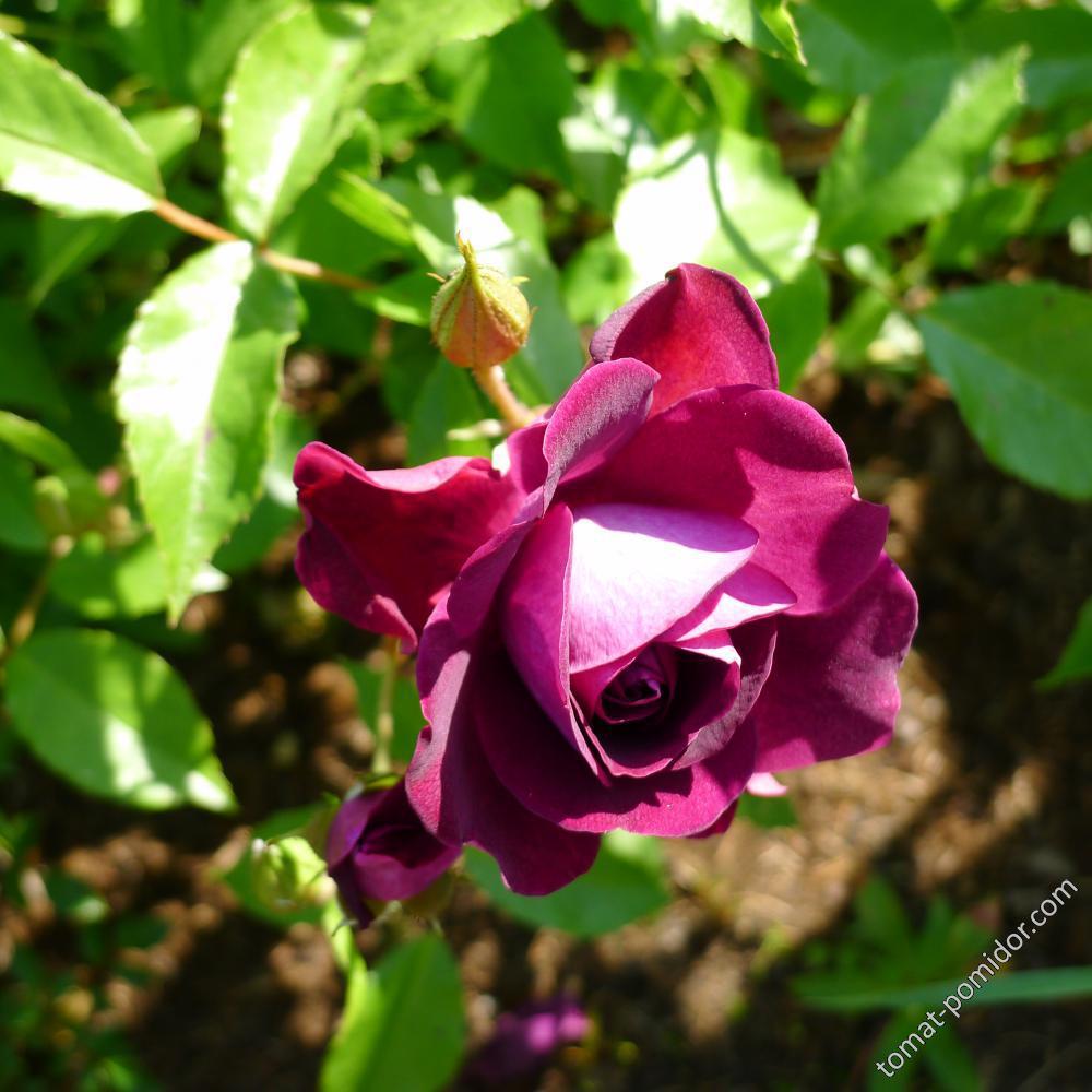 Роза Burgundy Ice