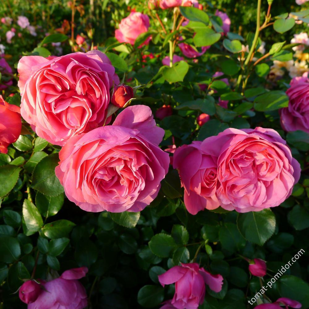 Роза Леонардо да Винчи розовая