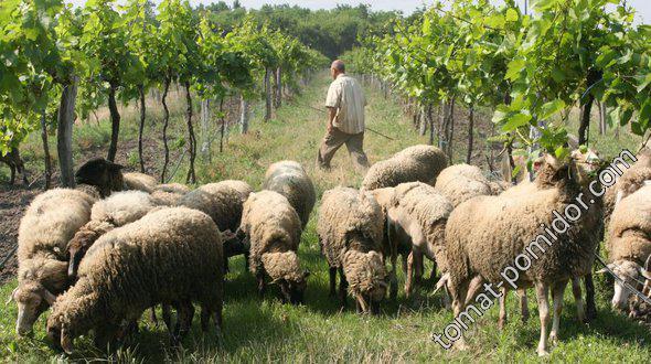 Виноград и овечки