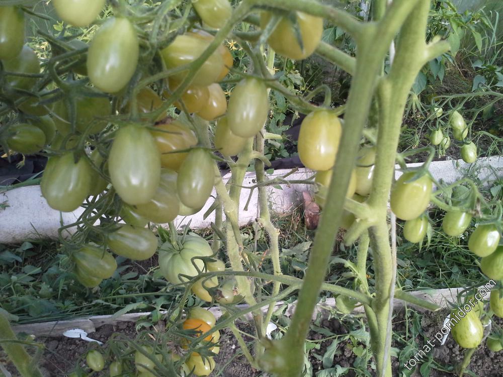 оранжевая грушка 28.07.грозди спутались