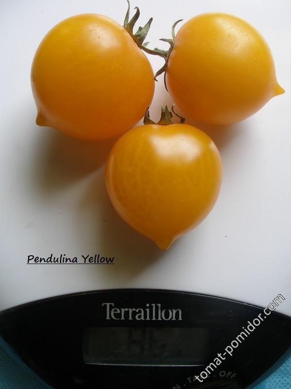 Pendulina  Yellow