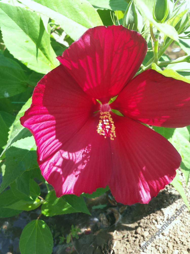 Гибискус первый цветок