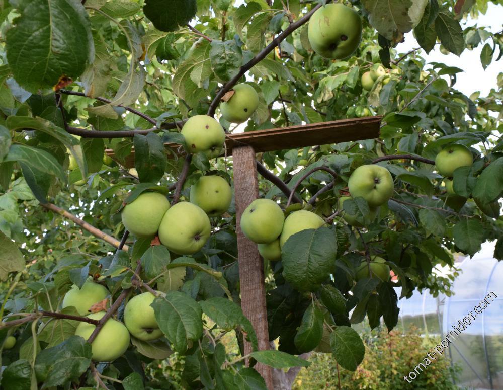 Яблоки 6.08.15г.(зимние)