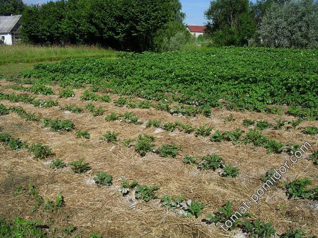 Картошка под сеном, июньская посадка
