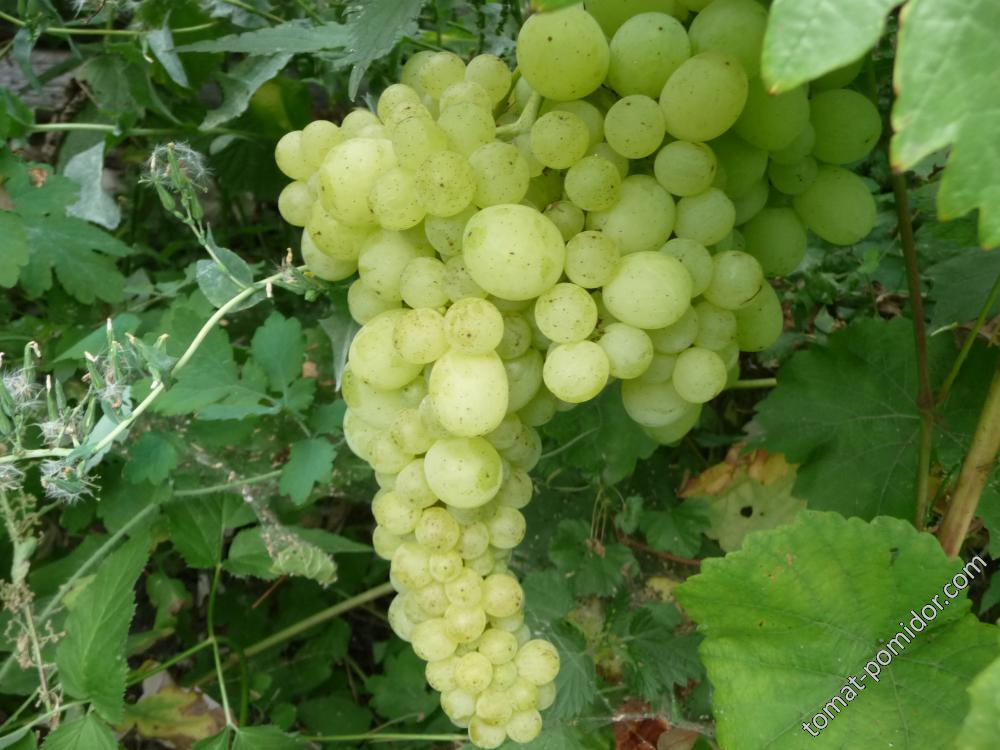 Виноградик (Восторг )