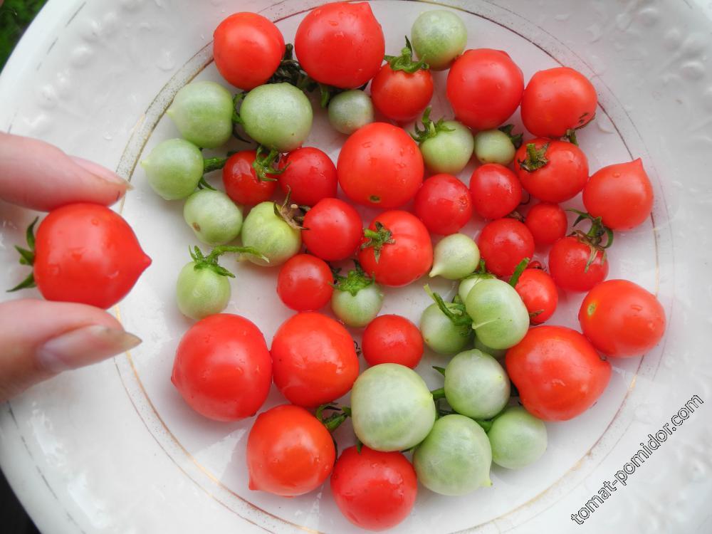 Горшечный мини-томат Беби