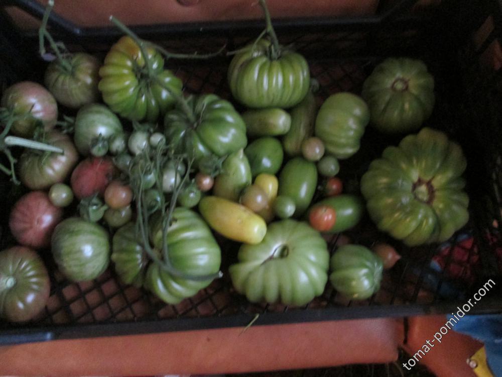 Остатки томатов в ОГ 08.09