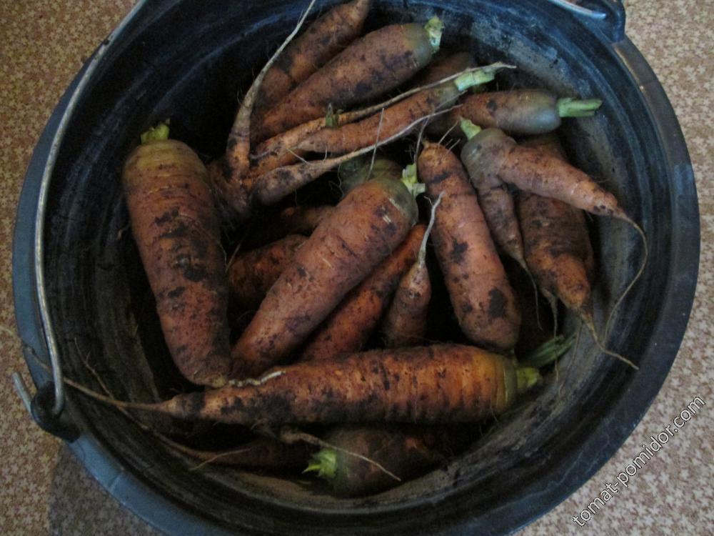 Морковь, кот.росла под томатами