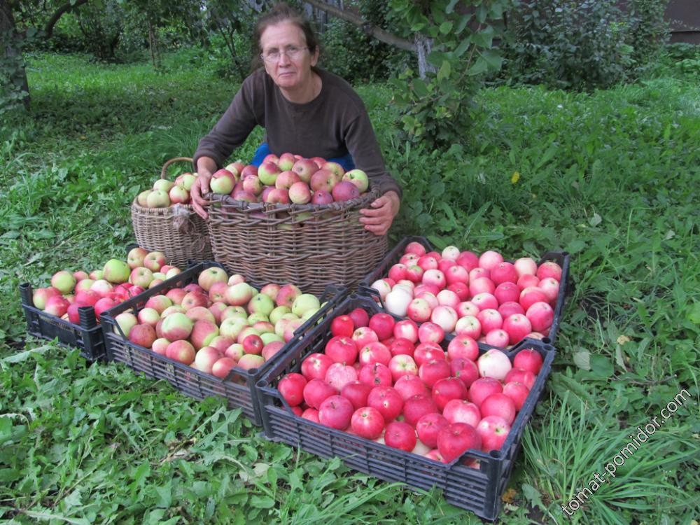 Убираем яблоки
