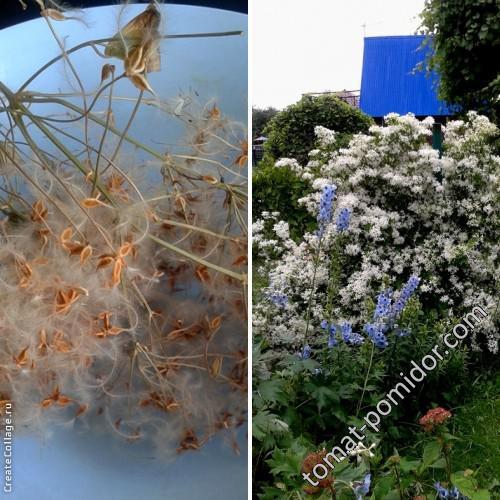 семена клемика Невеста