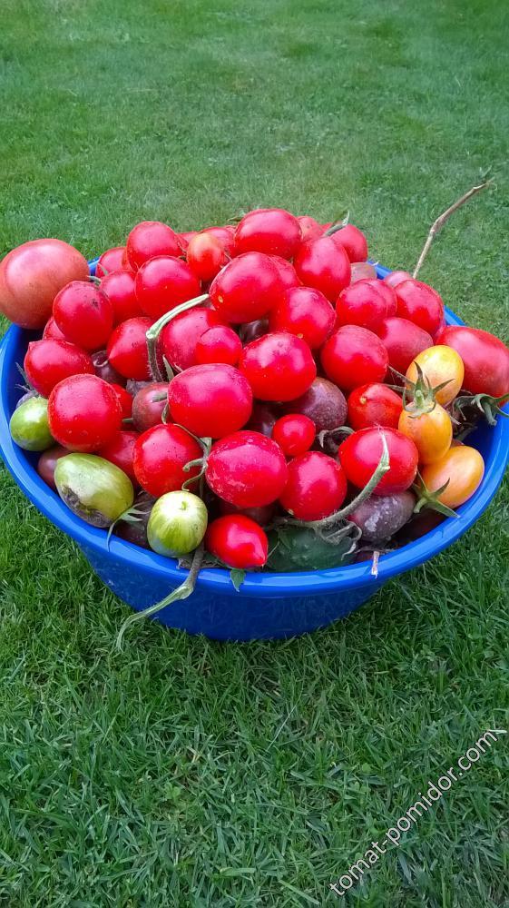 нескончаемые помидоры