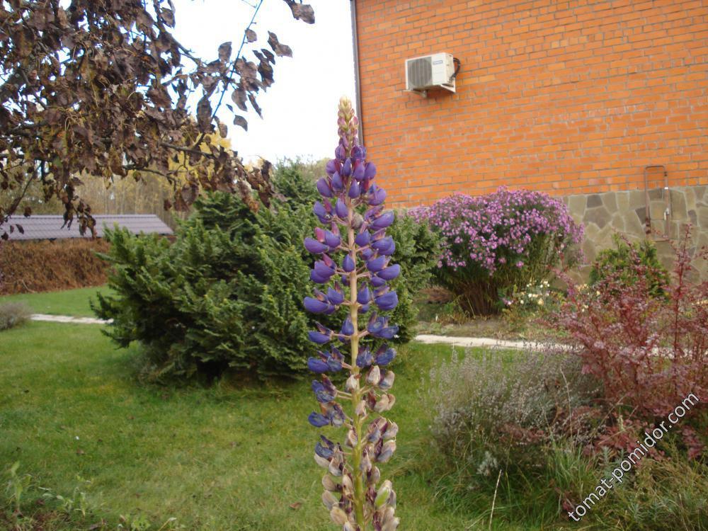 Люпин цветет -конец октября.