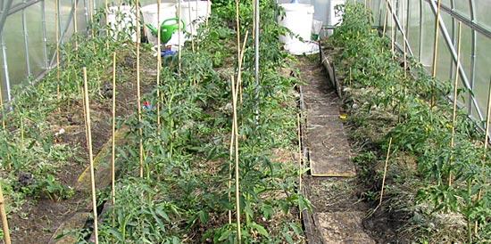 томаты в теплице и два прохода